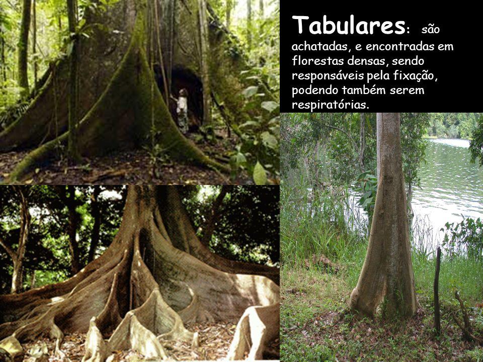 Tabulares : são achatadas, e encontradas em florestas densas, sendo responsáveis pela fixação, podendo também serem respiratórias.