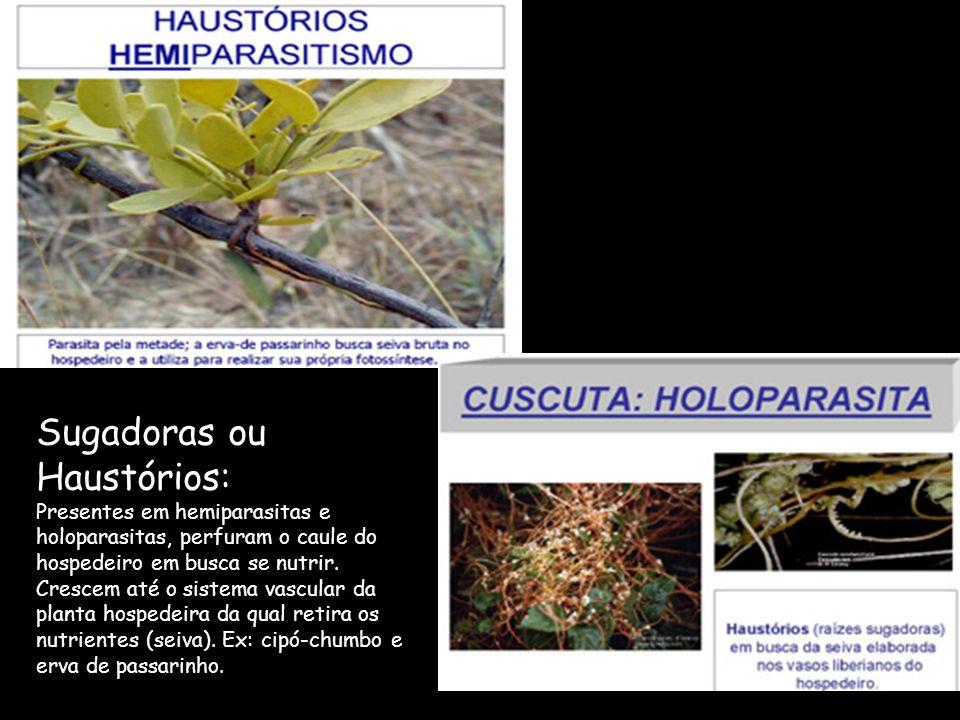 Sugadoras ou Haustórios: Presentes em hemiparasitas e holoparasitas, perfuram o caule do hospedeiro em busca se nutrir. Crescem até o sistema vascular