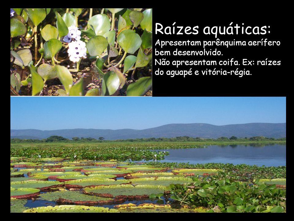 Raízes aquáticas: Apresentam parênquima aerífero bem desenvolvido. Não apresentam coifa. Ex: raízes do aguapé e vitória-régia.