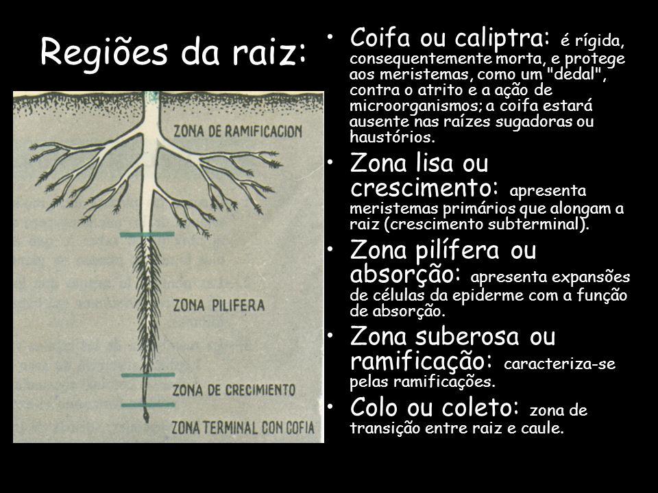 Regiões da raiz: Coifa ou caliptra: é rígida, consequentemente morta, e protege aos meristemas, como um