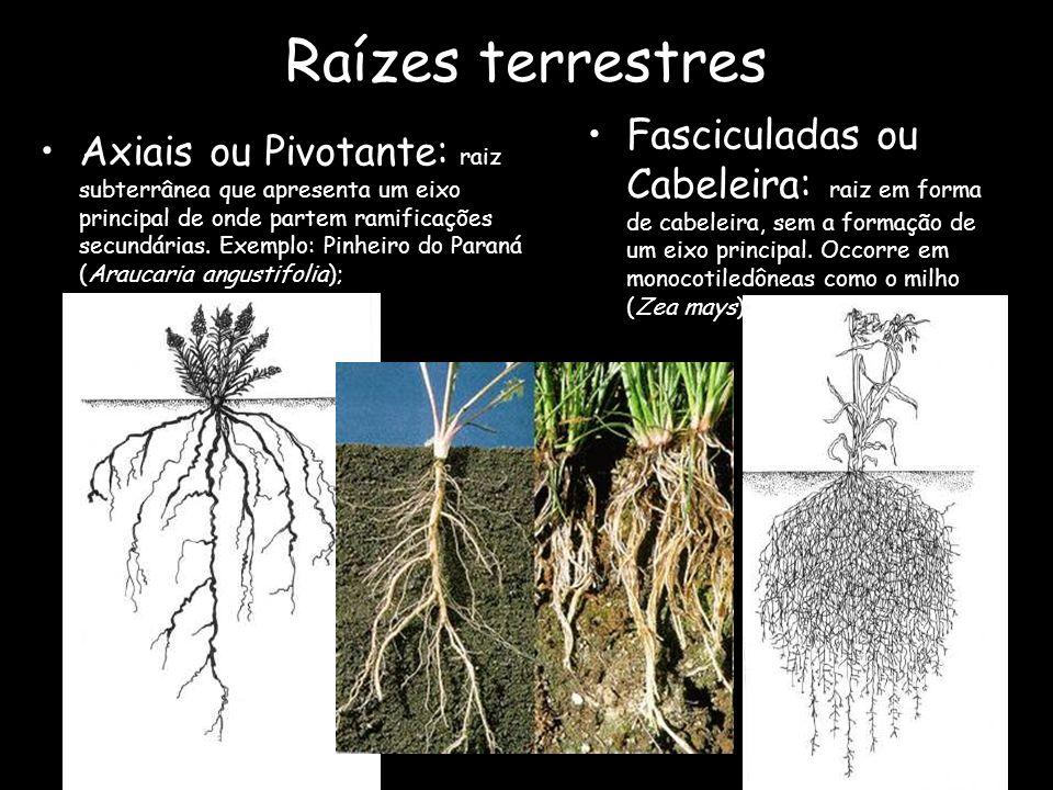 Raízes terrestres Axiais ou Pivotante: raiz subterrânea que apresenta um eixo principal de onde partem ramificações secundárias. Exemplo: Pinheiro do