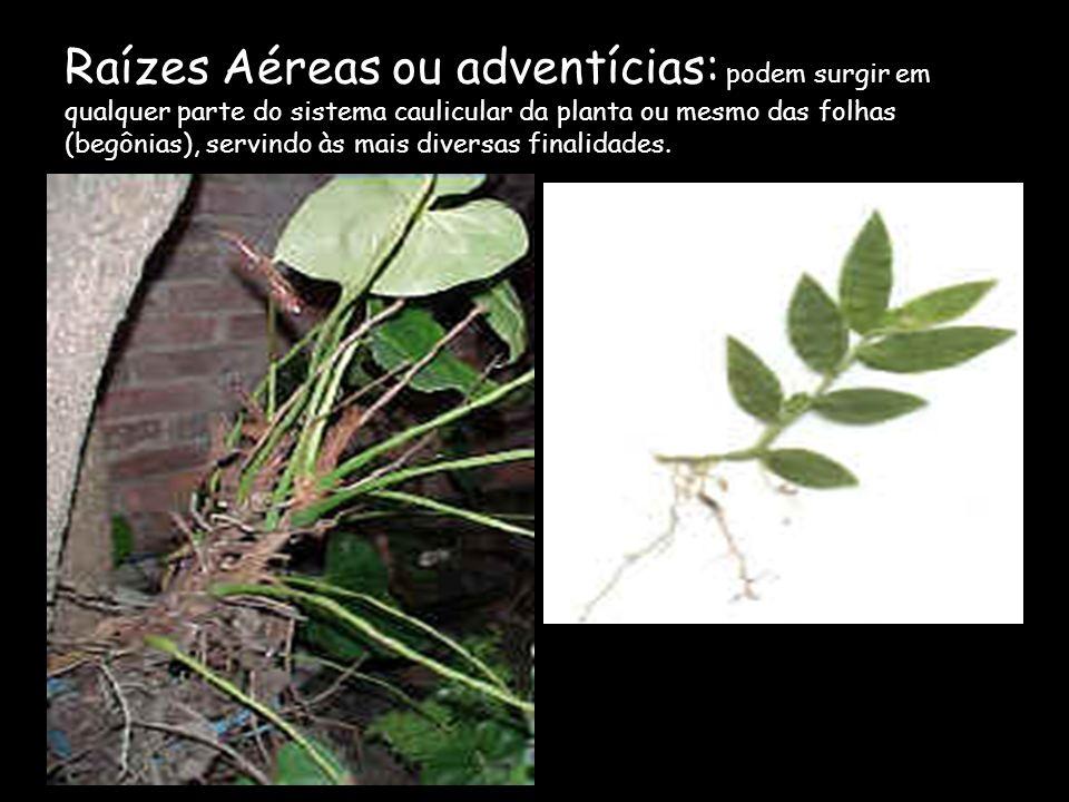 Raízes Aéreas ou adventícias: podem surgir em qualquer parte do sistema caulicular da planta ou mesmo das folhas (begônias), servindo às mais diversas