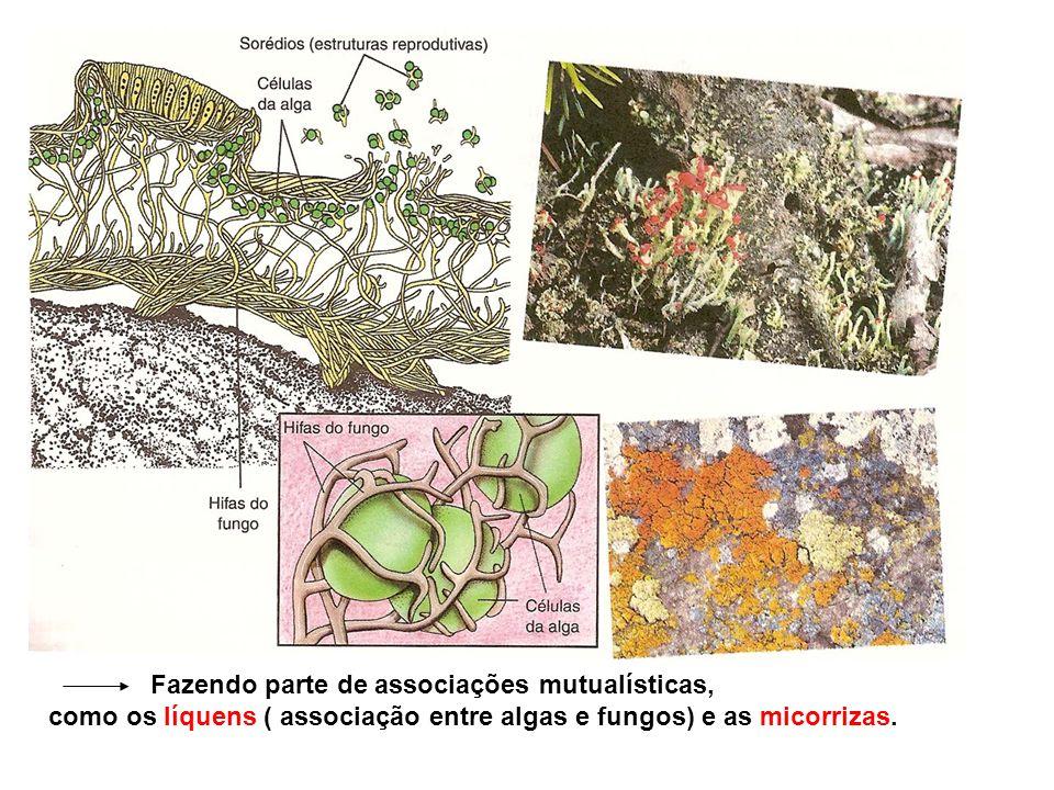 Fazendo parte de associações mutualísticas, como os líquens ( associação entre algas e fungos) e as micorrizas.