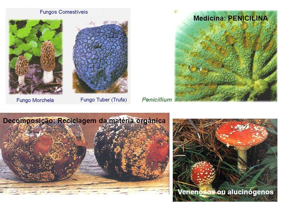 Decomposição: Reciclagem da matéria orgânica Medicina: PENICILINA Venenosos ou alucinógenos