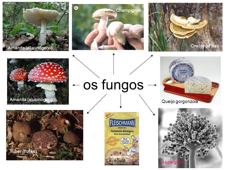 os fungos Amanita (alucinógeno) Tuber (trufas) Champignon Orelha de pau Queijo gorgonzola Aspergilus Levedura