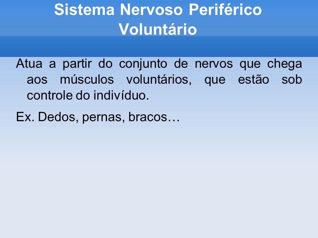 Sistema Nervoso Periférico Voluntário Atua a partir do conjunto de nervos que chega aos músculos voluntários, que estão sob controle do indivíduo.
