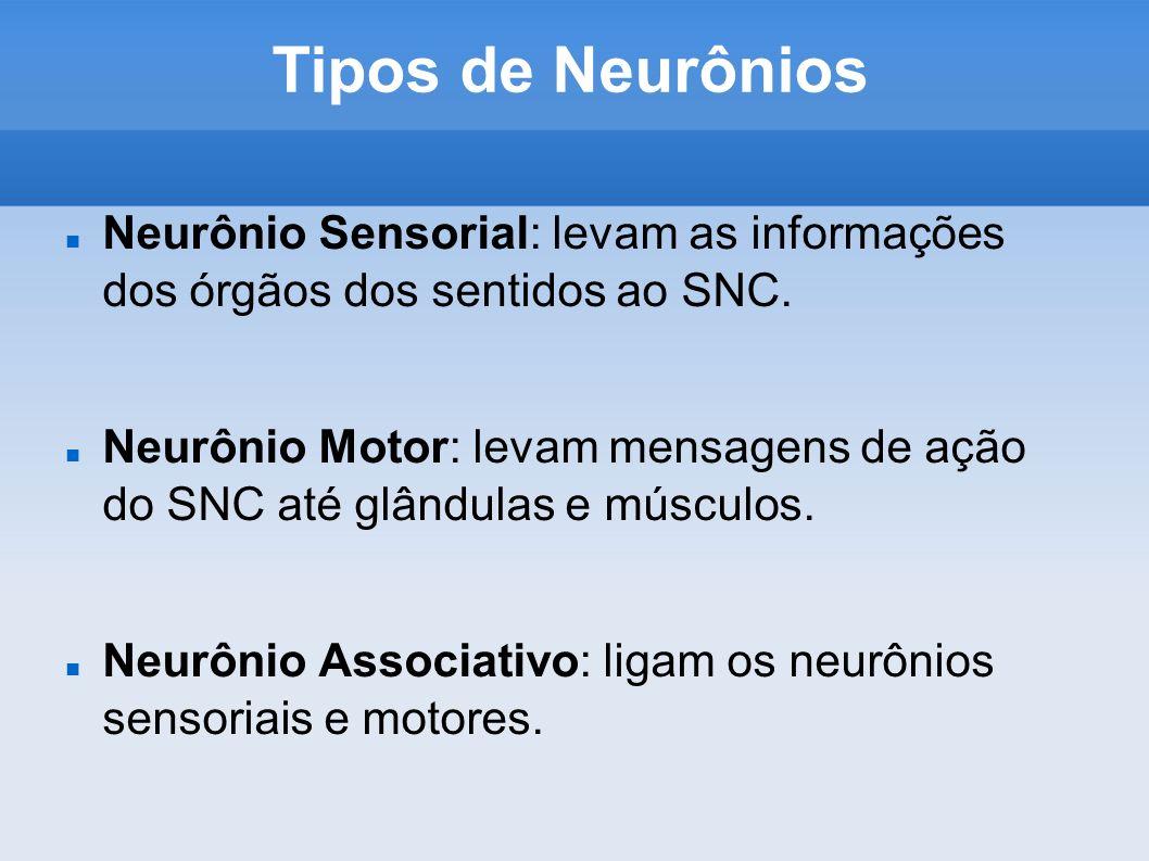 Tipos de Neurônios Neurônio Sensorial: levam as informações dos órgãos dos sentidos ao SNC. Neurônio Motor: levam mensagens de ação do SNC até glândul