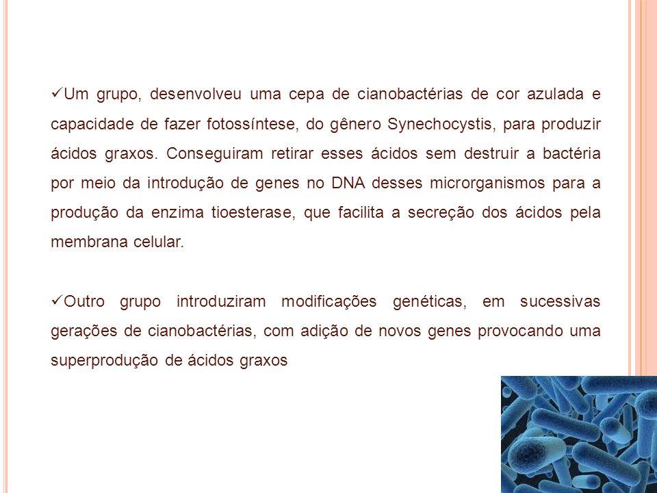 Um grupo, desenvolveu uma cepa de cianobactérias de cor azulada e capacidade de fazer fotossíntese, do gênero Synechocystis, para produzir ácidos grax