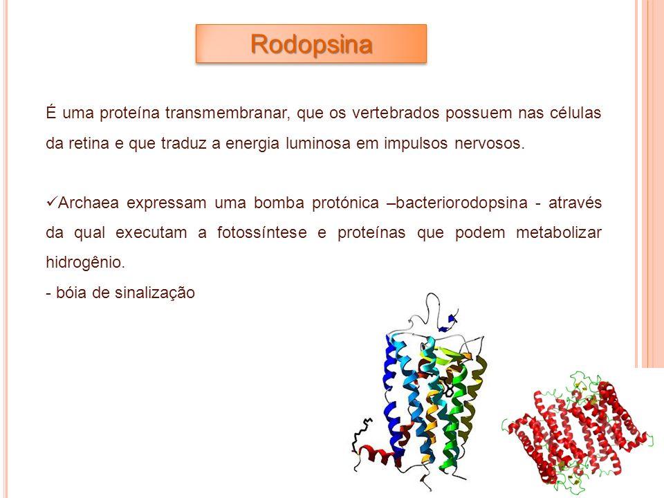 É uma proteína transmembranar, que os vertebrados possuem nas células da retina e que traduz a energia luminosa em impulsos nervosos. Archaea expressa