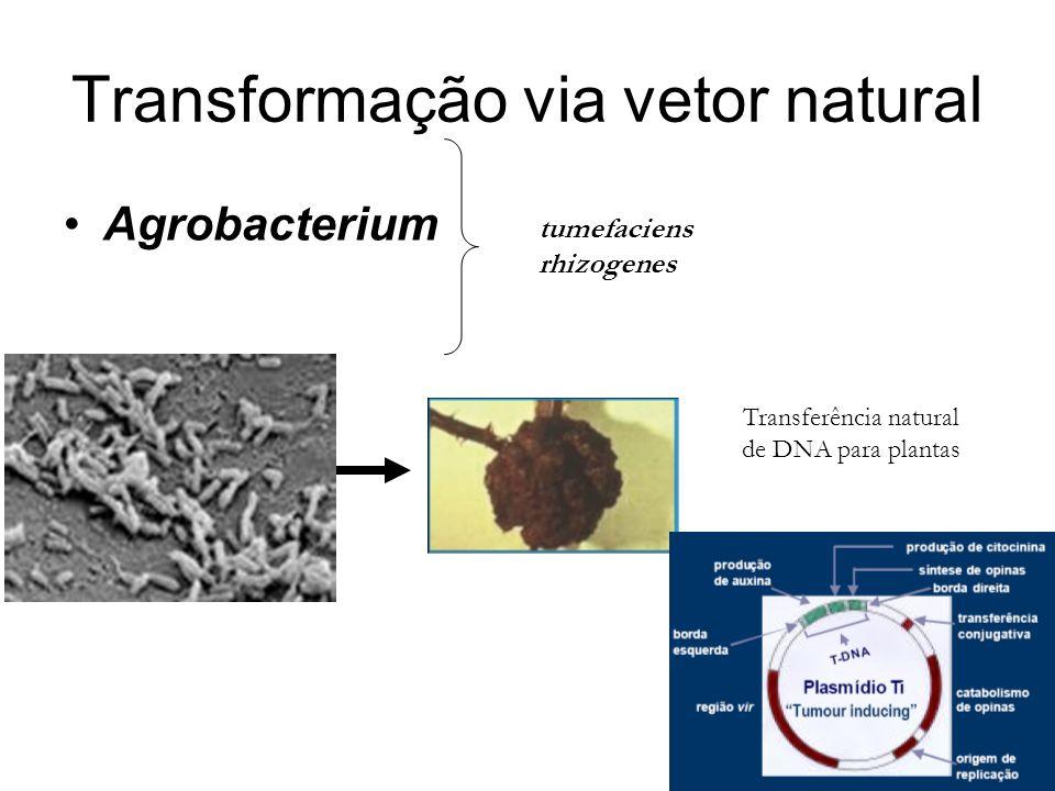 Transformação via vetor natural Agrobacterium tumefaciens rhizogenes Transferência natural de DNA para plantas
