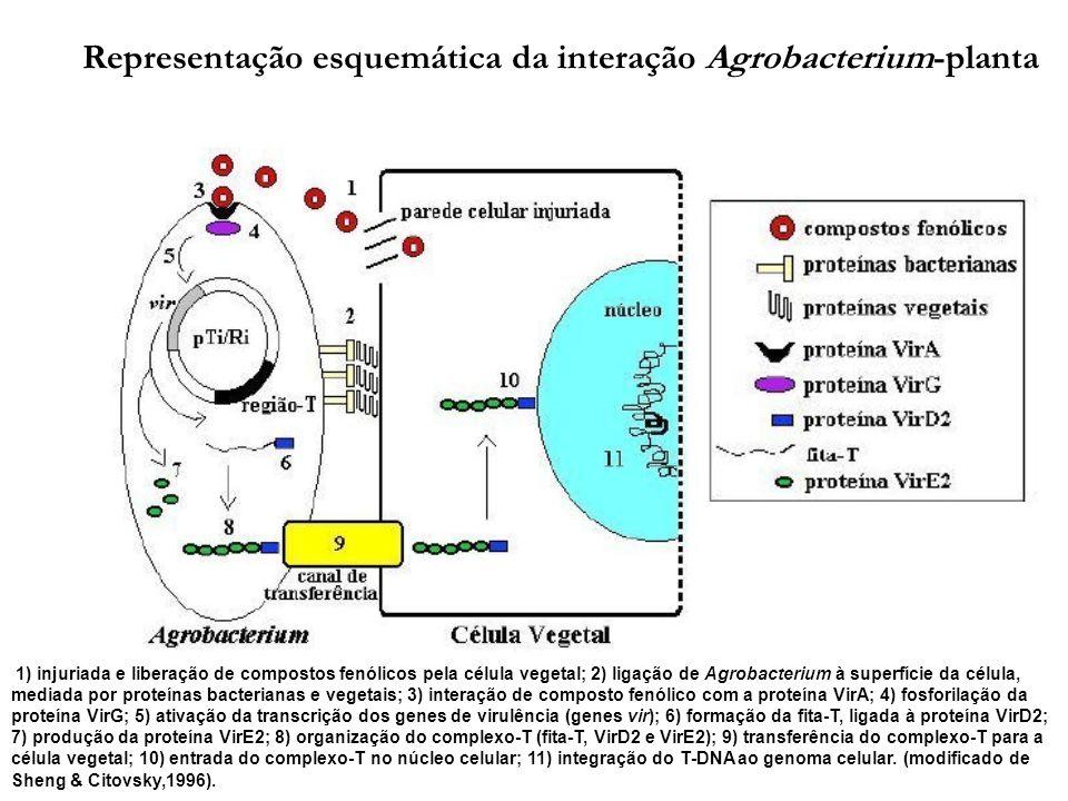 1) injuriada e liberação de compostos fenólicos pela célula vegetal; 2) ligação de Agrobacterium à superfície da célula, mediada por proteínas bacterianas e vegetais; 3) interação de composto fenólico com a proteína VirA; 4) fosforilação da proteína VirG; 5) ativação da transcrição dos genes de virulência (genes vir); 6) formação da fita-T, ligada à proteína VirD2; 7) produção da proteína VirE2; 8) organização do complexo-T (fita-T, VirD2 e VirE2); 9) transferência do complexo-T para a célula vegetal; 10) entrada do complexo-T no núcleo celular; 11) integração do T-DNA ao genoma celular.
