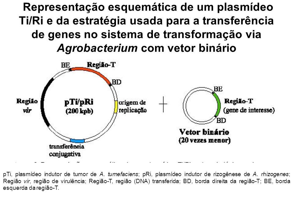 Representação esquemática de um plasmídeo Ti/Ri e da estratégia usada para a transferência de genes no sistema de transformação via Agrobacterium com vetor binário pTi, plasmídeo indutor de tumor de A.