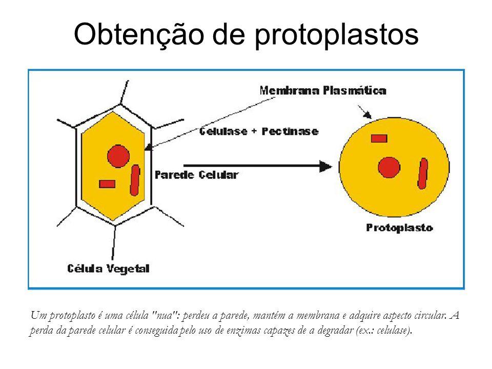 Obtenção de protoplastos Um protoplasto é uma célula nua : perdeu a parede, mantém a membrana e adquire aspecto circular.