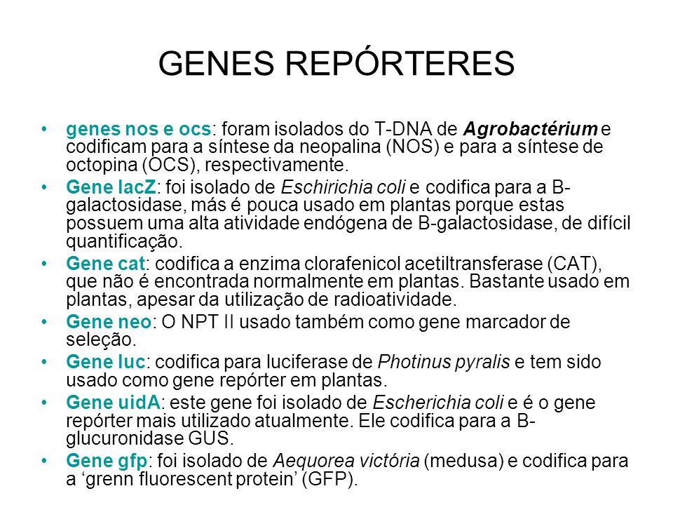 GENES REPÓRTERES genes nos e ocs: foram isolados do T-DNA de Agrobactérium e codificam para a síntese da neopalina (NOS) e para a síntese de octopina (OCS), respectivamente.