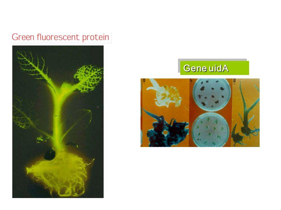 Gene uidA