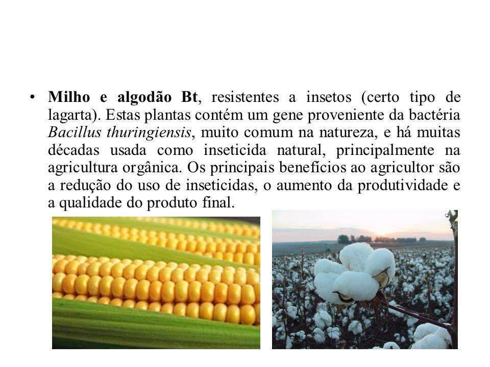 Milho e algodão Bt, resistentes a insetos (certo tipo de lagarta).
