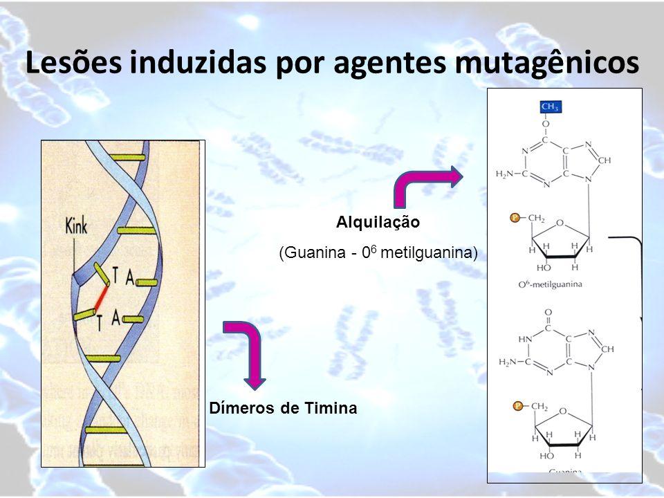 Lesões induzidas por agentes mutagênicos Dímeros de Timina Alquilação (Guanina - 0 6 metilguanina)