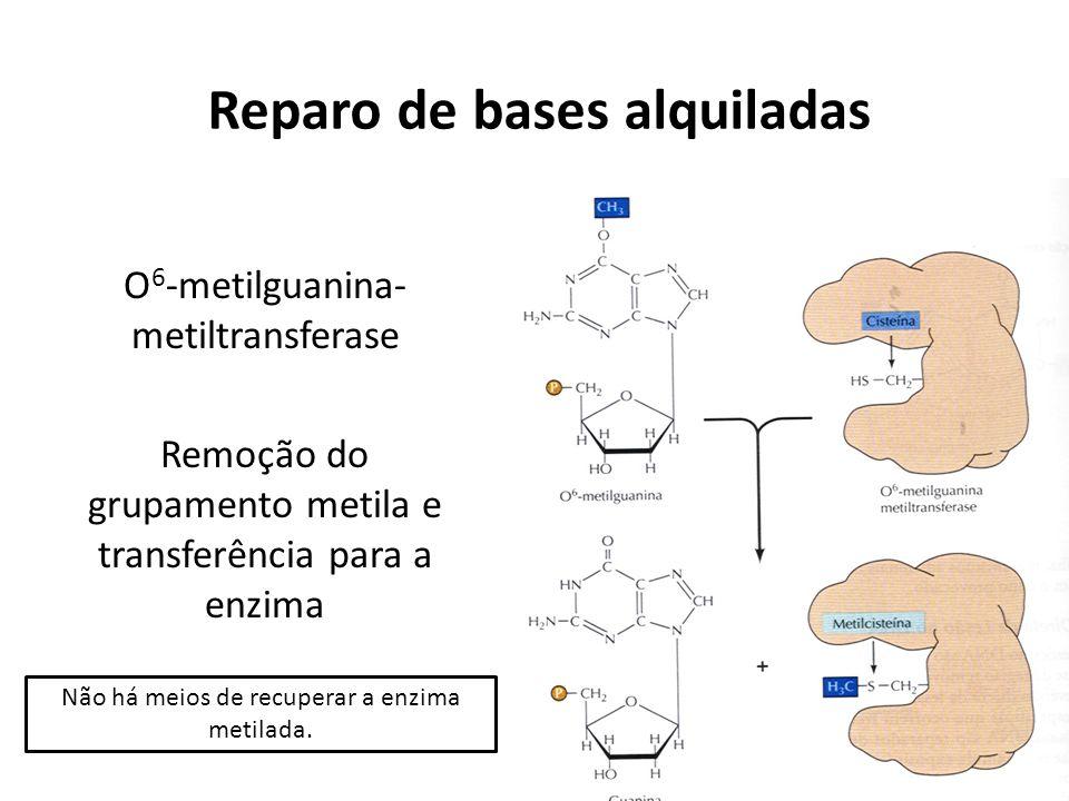 Reparo de bases alquiladas O 6 -metilguanina- metiltransferase Remoção do grupamento metila e transferência para a enzima Não há meios de recuperar a