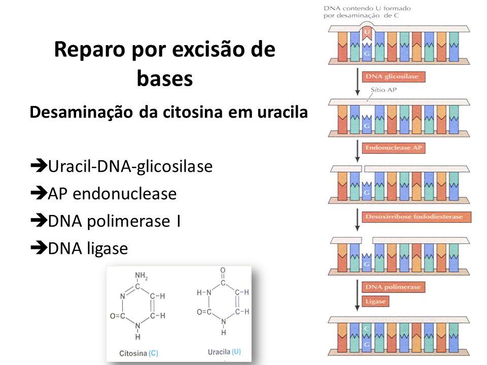 Reparo por excisão de bases Desaminação da citosina em uracila Uracil-DNA-glicosilase AP endonuclease DNA polimerase I DNA ligase