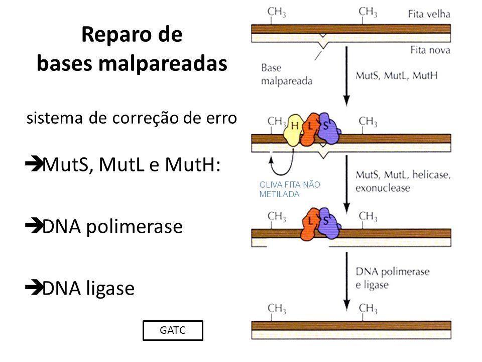 Reparo de bases malpareadas sistema de correção de erro MutS, MutL e MutH: DNA polimerase DNA ligase CLIVA FITA NÃO METILADA GATC