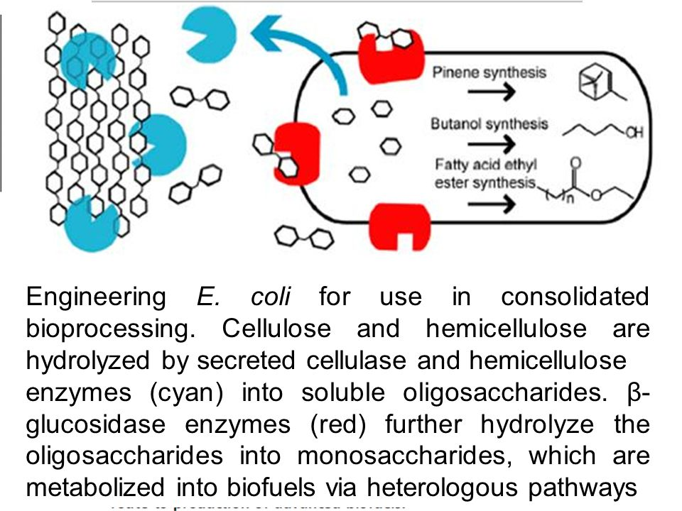 Engineering E. coli for use in consolidated bioprocessing. Cellulose and hemicellulose are hydrolyzed by secreted cellulase and hemicellulose enzymes