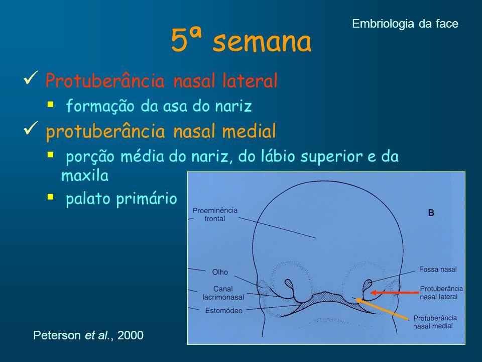 5ª semana Protuberância nasal lateral formação da asa do nariz protuberância nasal medial porção média do nariz, do lábio superior e da maxila palato
