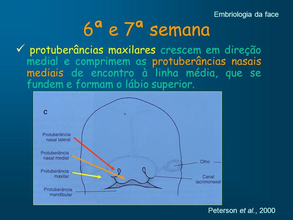 6ª e 7ª semana protuberâncias maxilares crescem em direção medial e comprimem as protuberâncias nasais mediais de encontro à linha média, que se funde