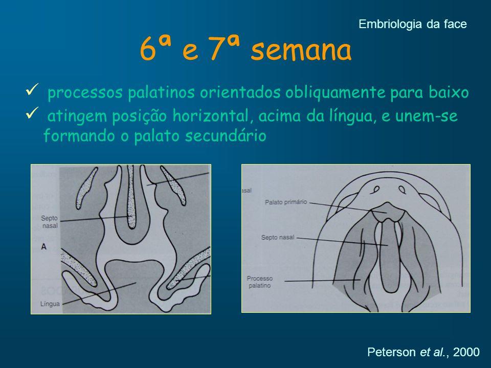 6ª e 7ª semana Embriologia da face Peterson et al., 2000