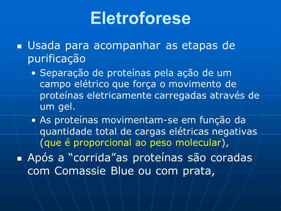 Eletroforese Usada para acompanhar as etapas de purificação Separação de proteínas pela ação de um campo elétrico que força o movimento de proteínas e