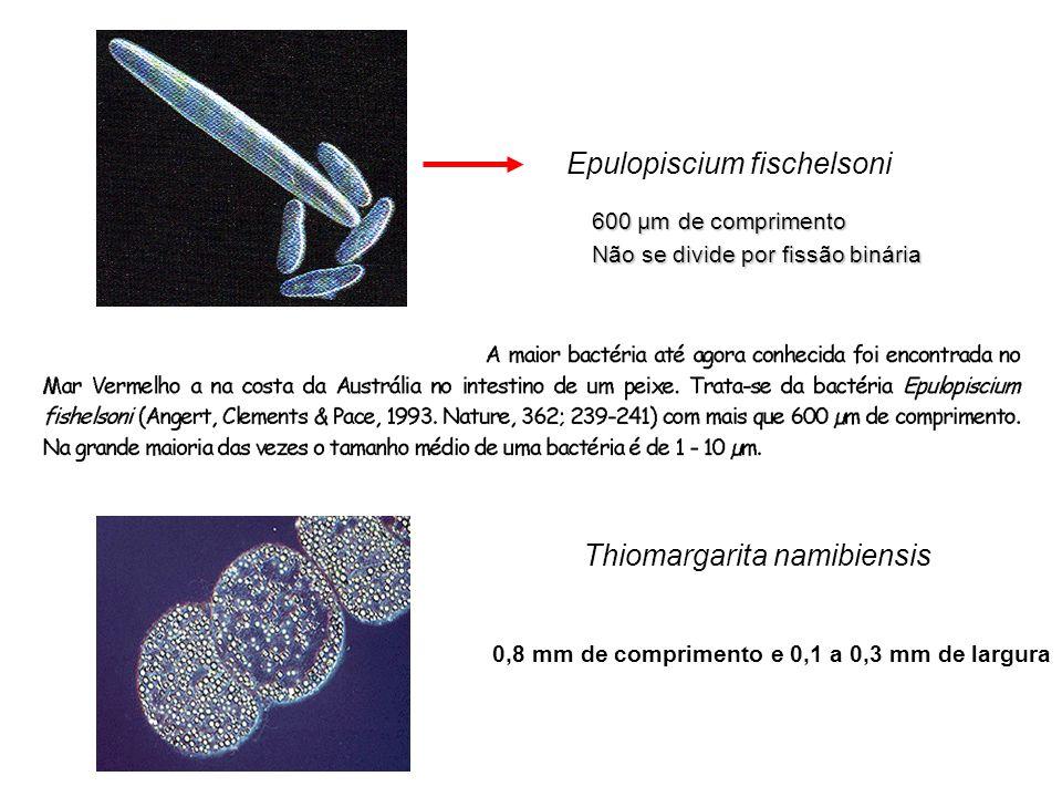 Thiomargarita namibiensis 0,8 mm de comprimento e 0,1 a 0,3 mm de largura Epulopiscium fischelsoni 600 µm de comprimento Não se divide por fissão biná
