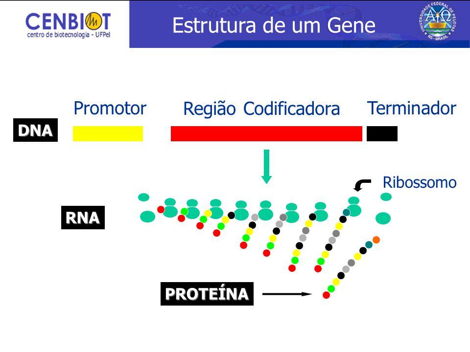 Promotor Região Codificadora Terminador DNA RNA PROTEÍNA Ribossomo Estrutura de um Gene