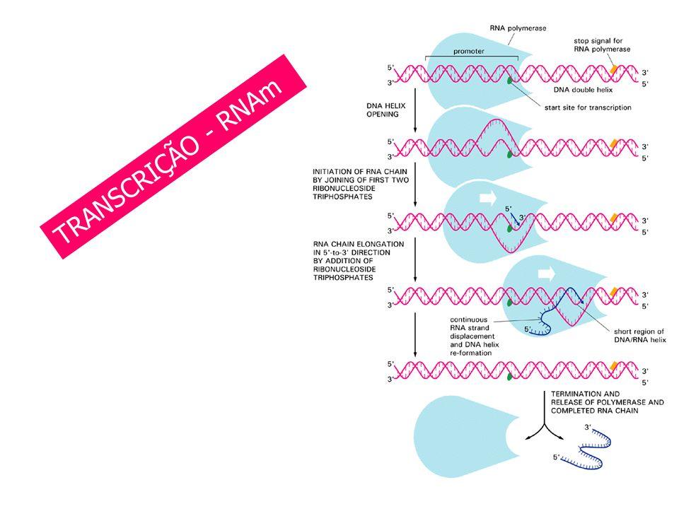 ENZIMAS DE RESTRIÇÃO TRANSCRIÇÃO - RNAm