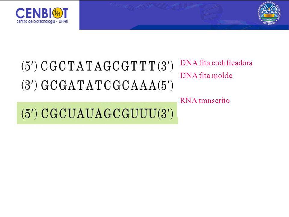 DNA fita codificadora DNA fita molde RNA transcrito
