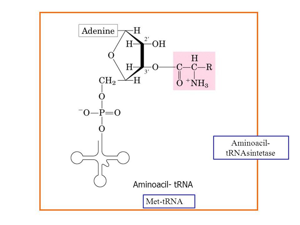 Aminoacil- tRNA Aminoacil- tRNAsintetase Met-tRNA