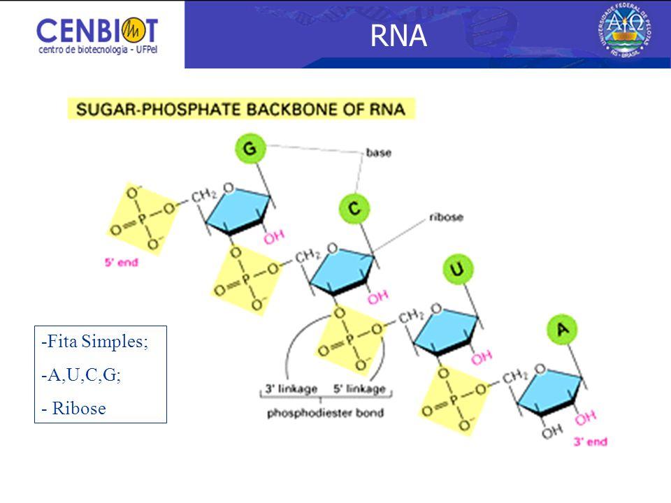 RNA -Fita Simples; -A,U,C,G; - Ribose