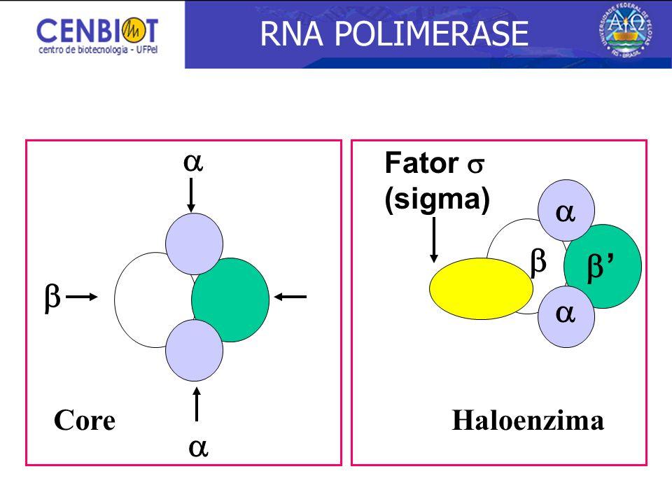 Fator (sigma) CoreHaloenzima RNA POLIMERASE