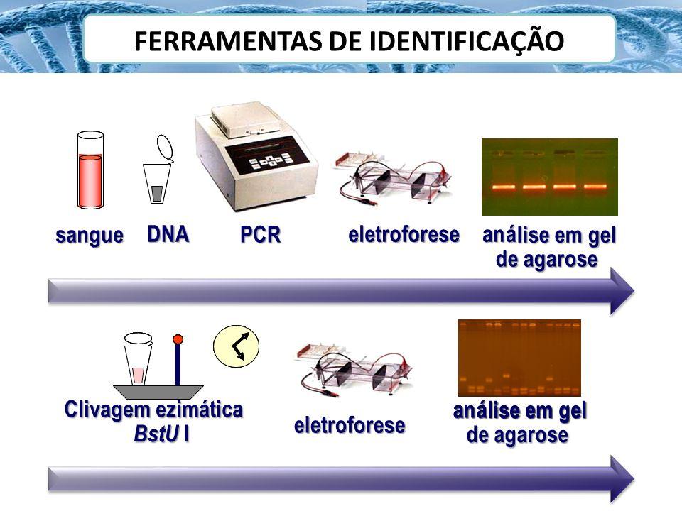 digestão–AciIouSfcI sangue DNA PCR eletroforeseaná lise em gel eletroforese 36 0 C 2h Clivagem ezimática BstU I sangue DNA PCR eletroforeseaná lise em