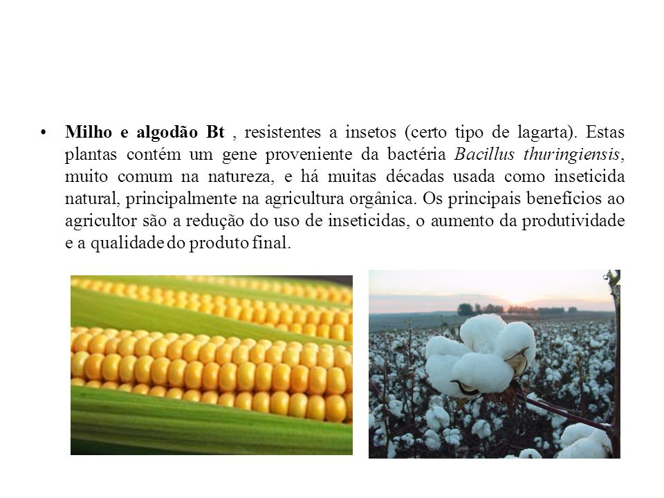 Milho e algodão Bt, resistentes a insetos (certo tipo de lagarta). Estas plantas contém um gene proveniente da bactéria Bacillus thuringiensis, muito