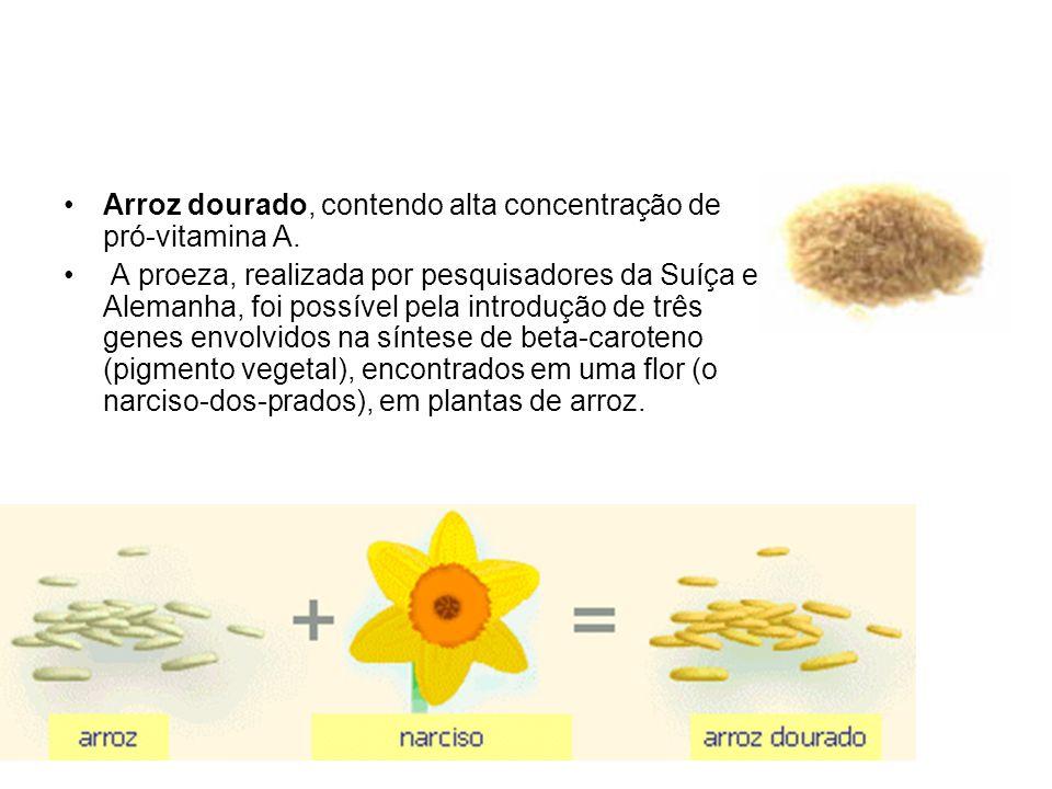 Arroz dourado, contendo alta concentração de pró-vitamina A. A proeza, realizada por pesquisadores da Suíça e Alemanha, foi possível pela introdução d