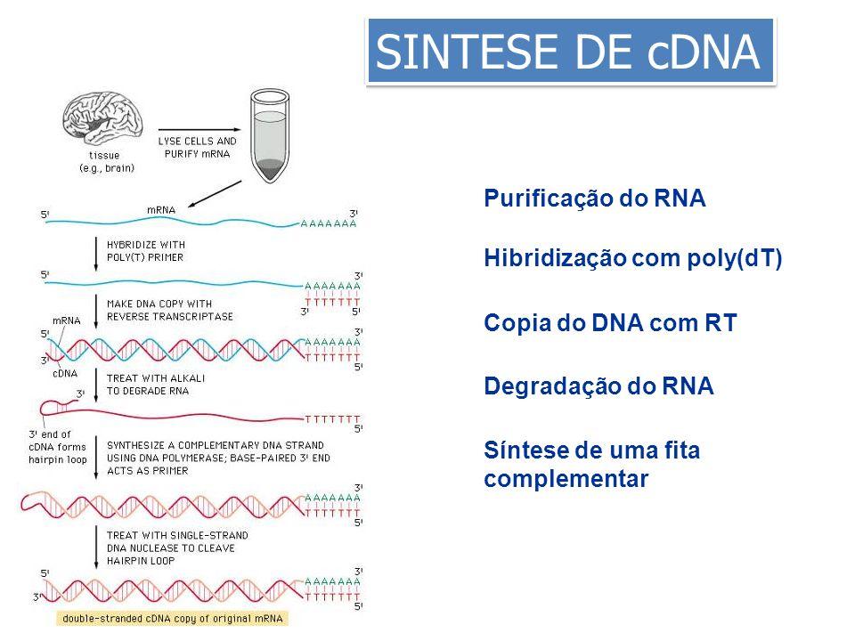 SINTESE DE cDNA Purificação do RNA Hibridização com poly(dT) Copia do DNA com RT Degradação do RNA Síntese de uma fita complementar