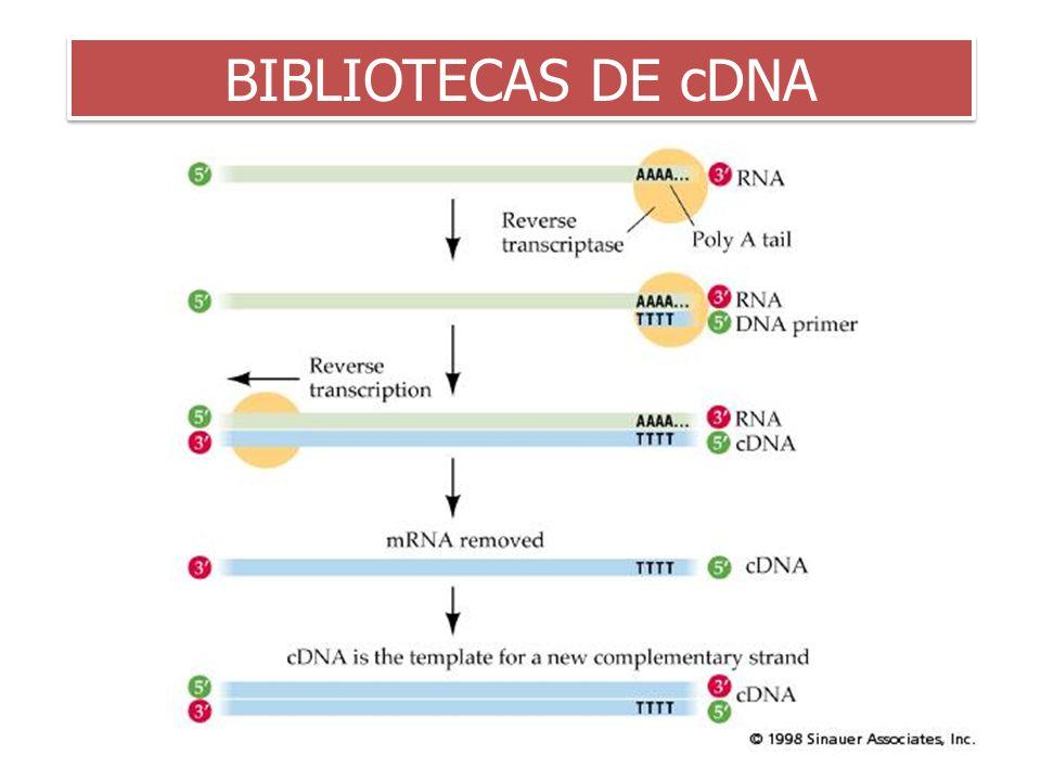 BIBLIOTECAS DE cDNA