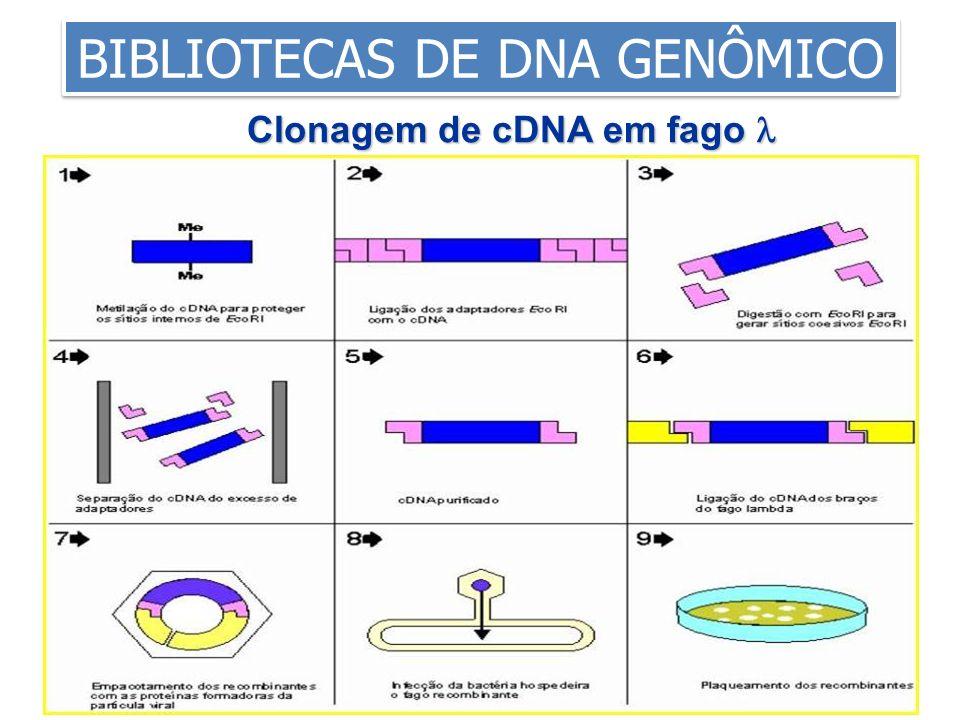 Clonagem de cDNA em fago Clonagem de cDNA em fago BIBLIOTECAS DE DNA GENÔMICO