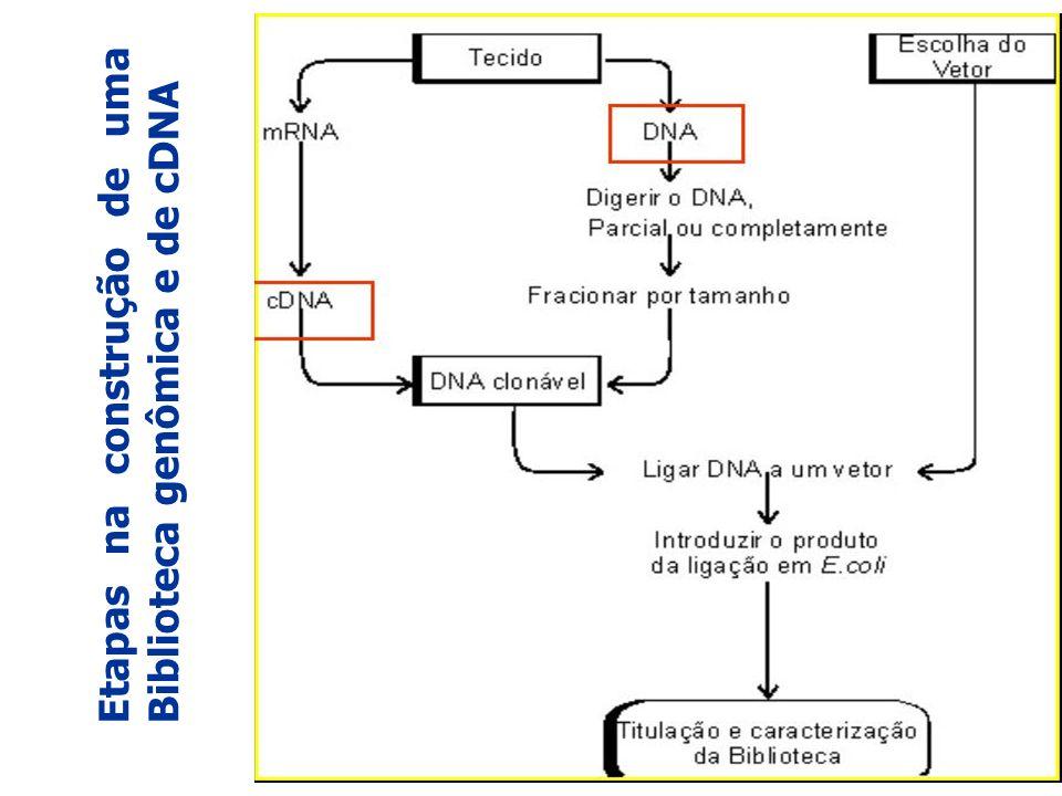 Etapas na construção de uma Biblioteca genômica e de cDNA