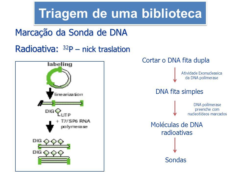 Marcação da Sonda de DNA Radioativa: 32 P – nick traslation Atividade Exonucleasica da DNA polimerase DNA polimerase preenche com nucleotídeos marcado