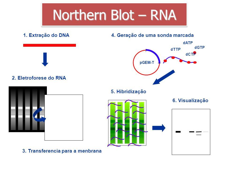 4. Geração de uma sonda marcada pGEM-T dATP dGTP dTTP dCTP 1. Extração do DNA 2. Eletroforese do RNA 3. Transferencia para a menbrana 5. Hibridização