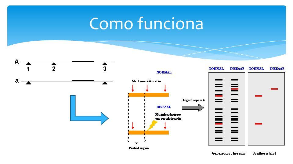 Problemas Custo e trabalho envolvidos no desenvolvimento dos primers Construção de bibliotecas genômica sequenciamento Triagem dos melhores primers Possibilidade de se usar seqüências depositadas em banco de dados EST (Expressed Sequence Tags) - SSR funcional x SSR genômico Microssatélites