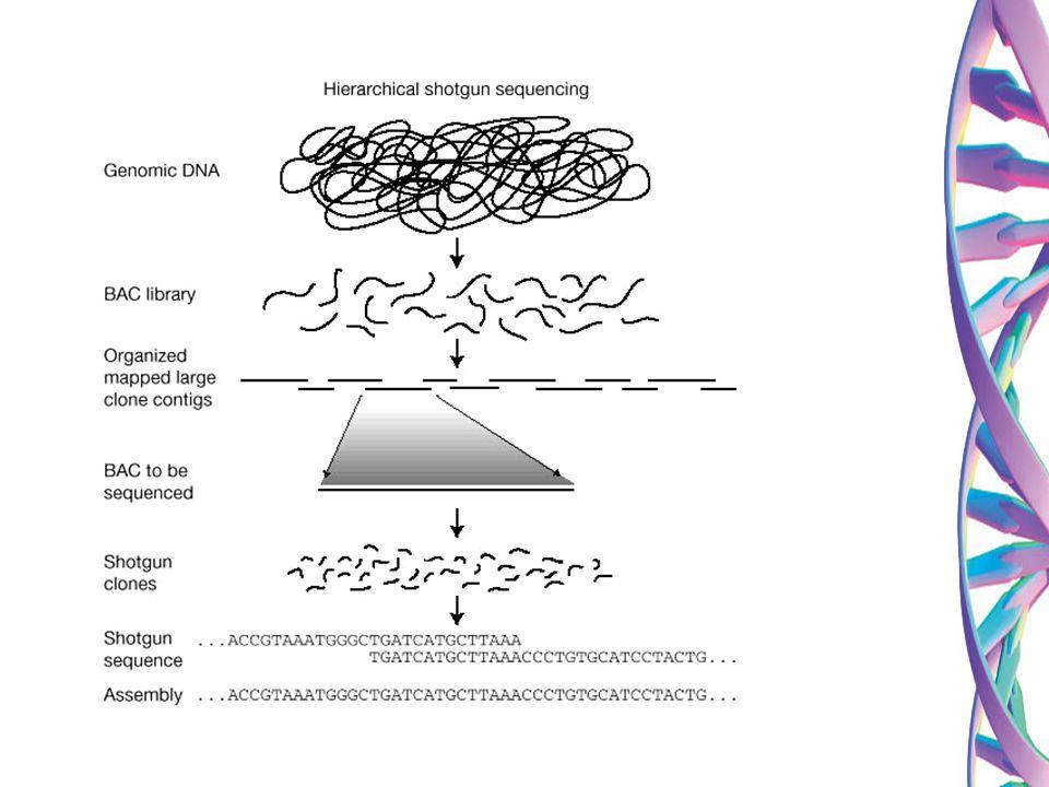 Consórcio Internacional do Sequenciamento do Genoma Humano Consórcio Internacional do Sequenciamento do Genoma Humano