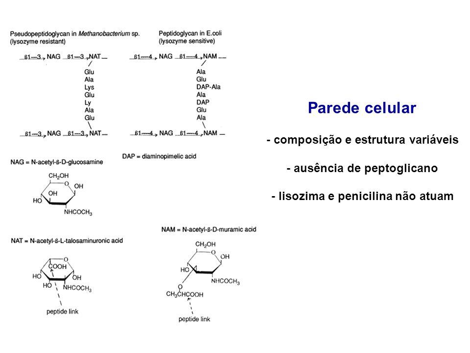Parede celular - composição e estrutura variáveis - ausência de peptoglicano - lisozima e penicilina não atuam