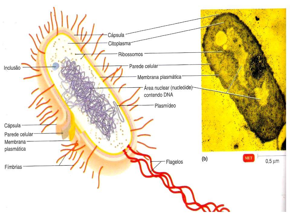 1.Material genético NÃO está envolvido por membrana 2.