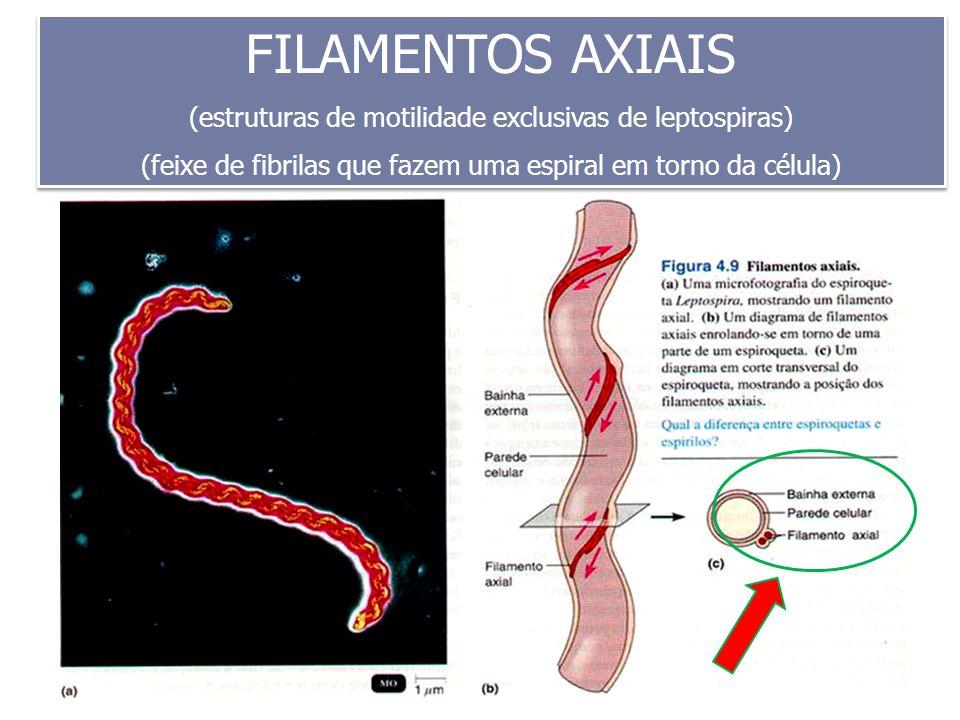 FILAMENTOS AXIAIS (estruturas de motilidade exclusivas de leptospiras) (feixe de fibrilas que fazem uma espiral em torno da célula) FILAMENTOS AXIAIS